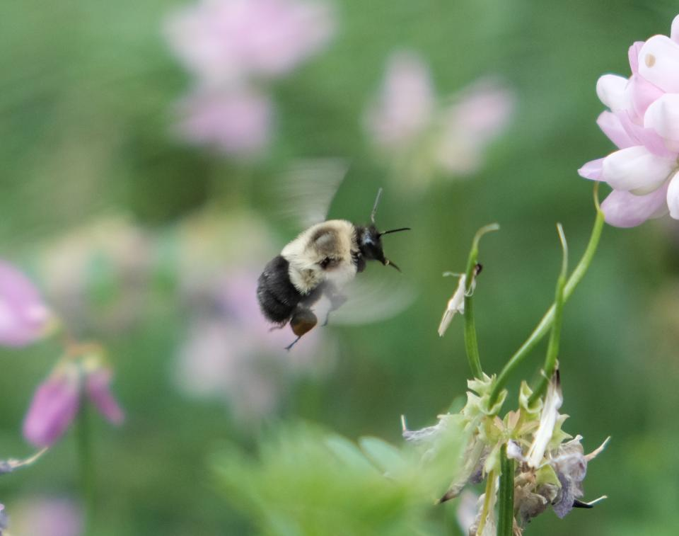 Picture of a bumble bee in flight